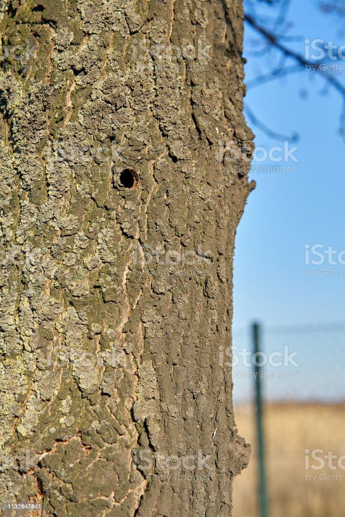 Ein Baum, der vom asiatischen Langhornkäfer in Magdeburg befallen wurde – Foto