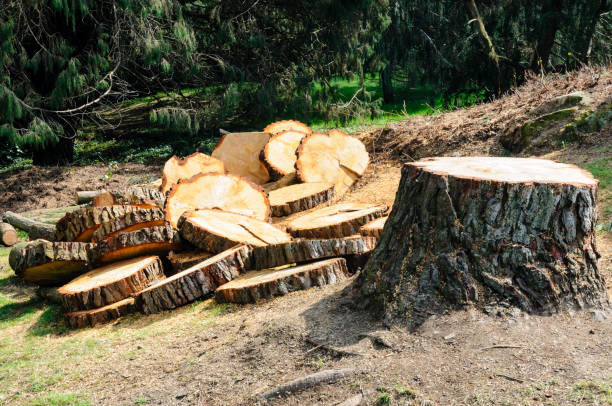 A tree is cut down into slices to be used as firewood stock photo