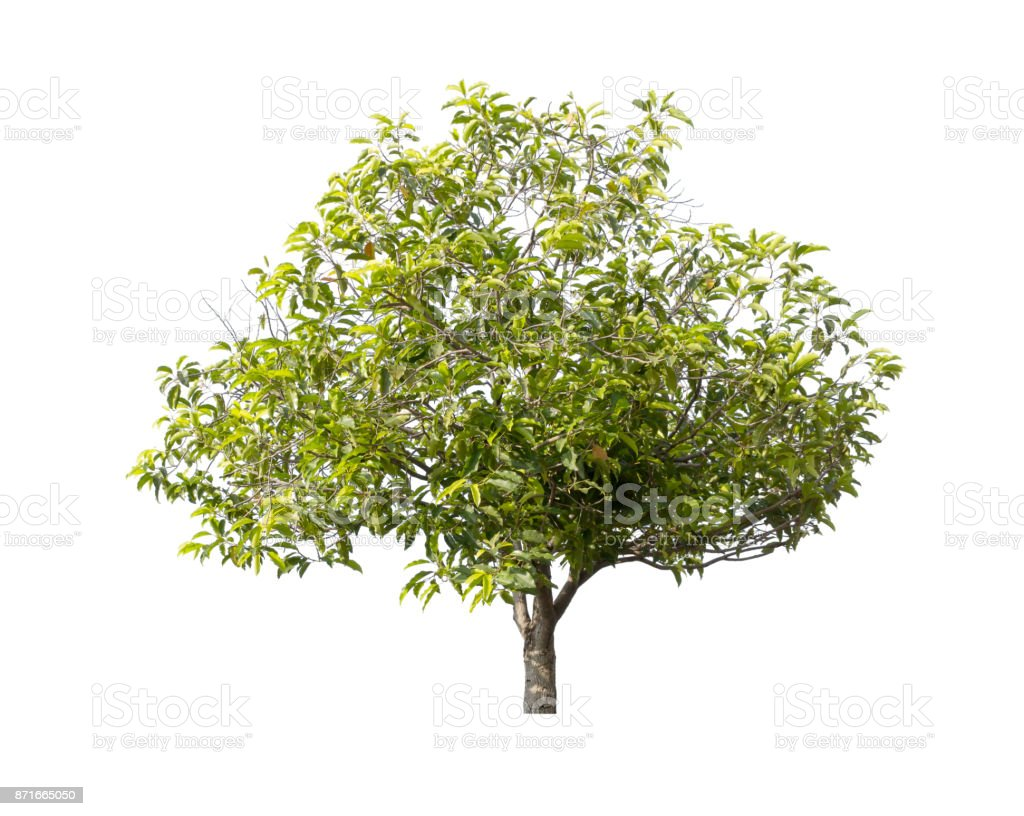 Tree isolated against a white background stock photo