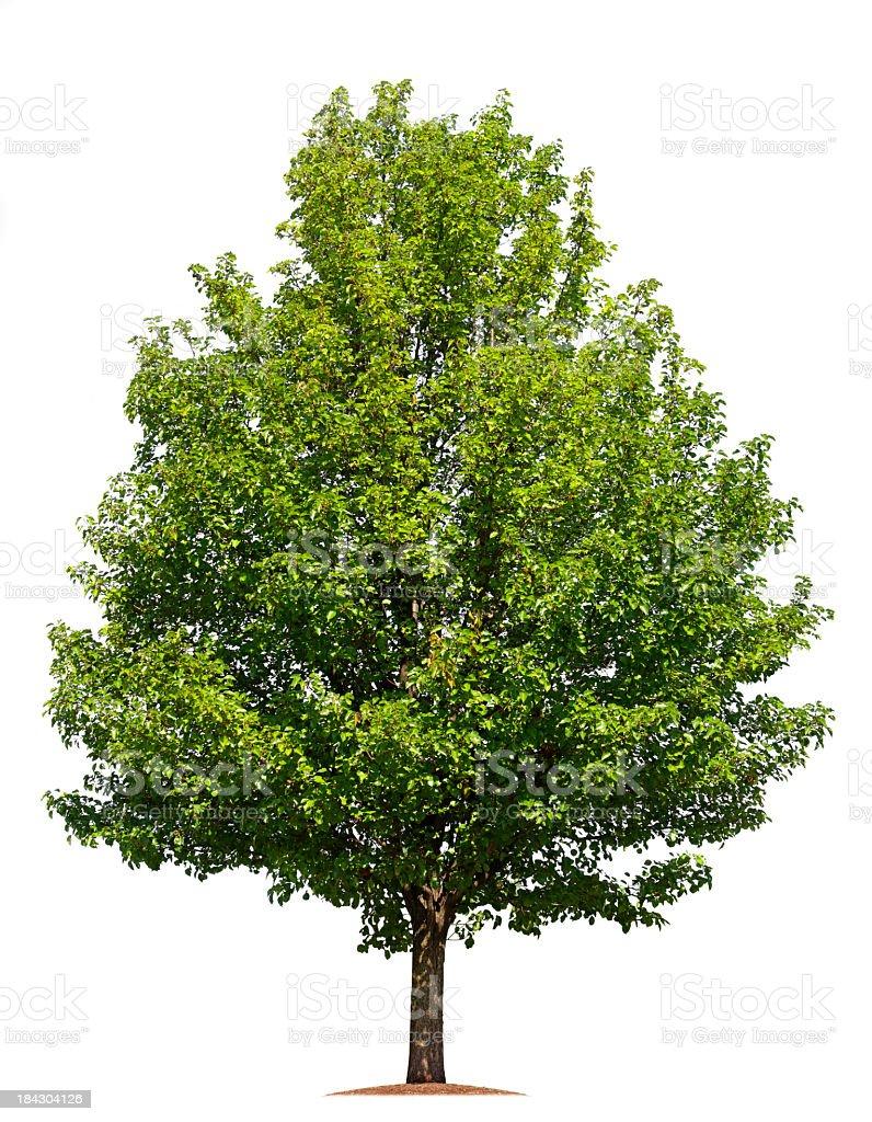 Baum isoliert auf weißem Hintergrund – Foto