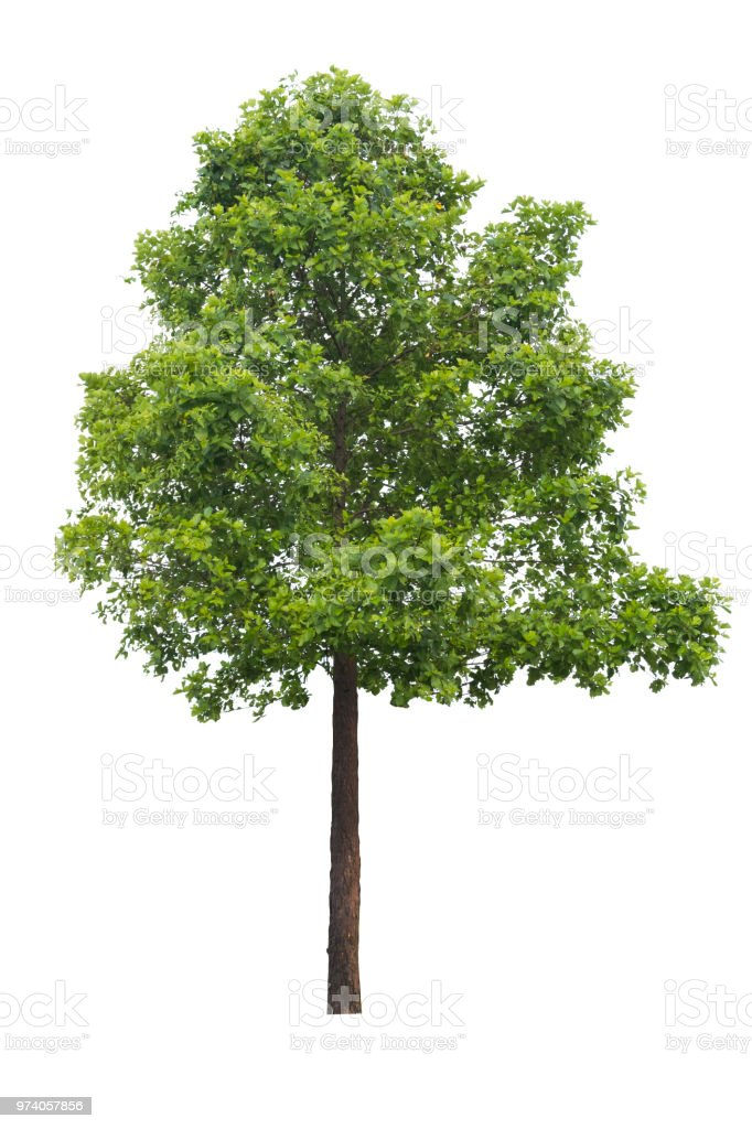 Tree isolated on a white background. stock photo