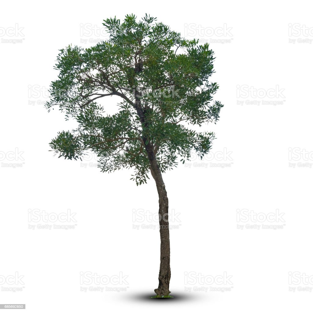 Tree isolated on a white background. with clipping path. foto de stock royalty-free