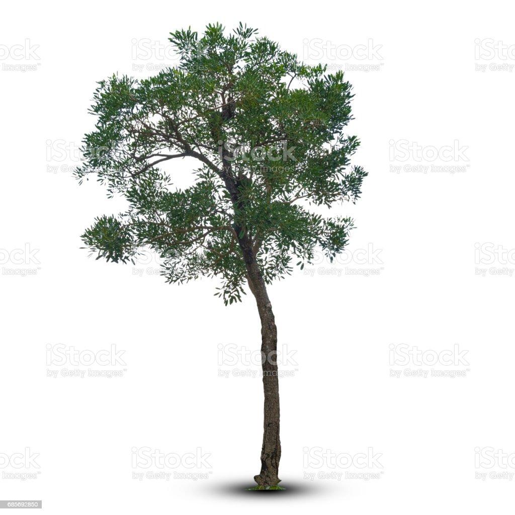 白い背景で隔離の木。クリッピング パスに。 ロイヤリティフリーストックフォト
