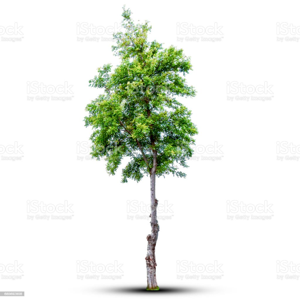 Tree isolated on a white background. with clipping path. royalty-free stock photo