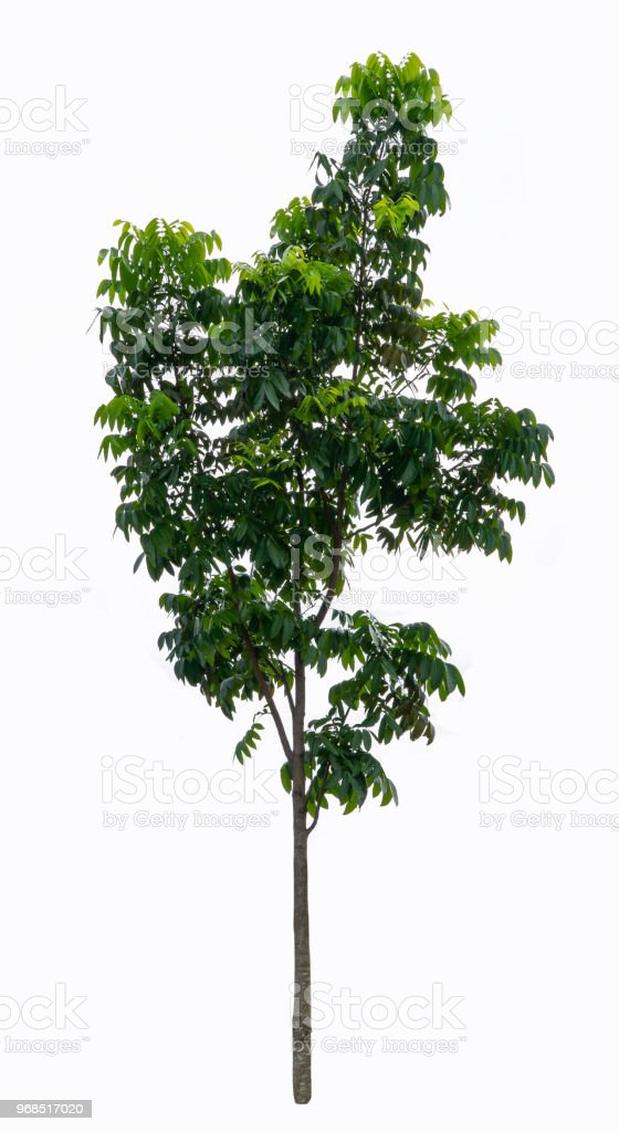 Tree isolated on white background. Object element for design. The collection of trees. With clipping path. stock photo