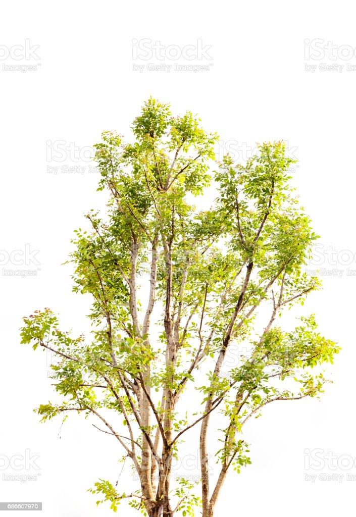 tree isolated on white background. royalty-free stock photo