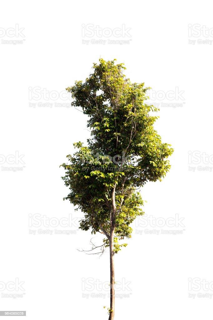 tree isolated on white background. - Royalty-free Backgrounds Stock Photo
