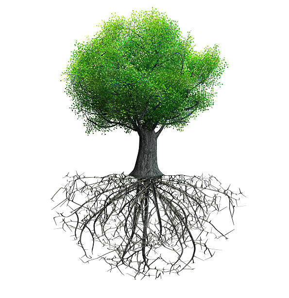 tree isolated - root stock photos and pictures