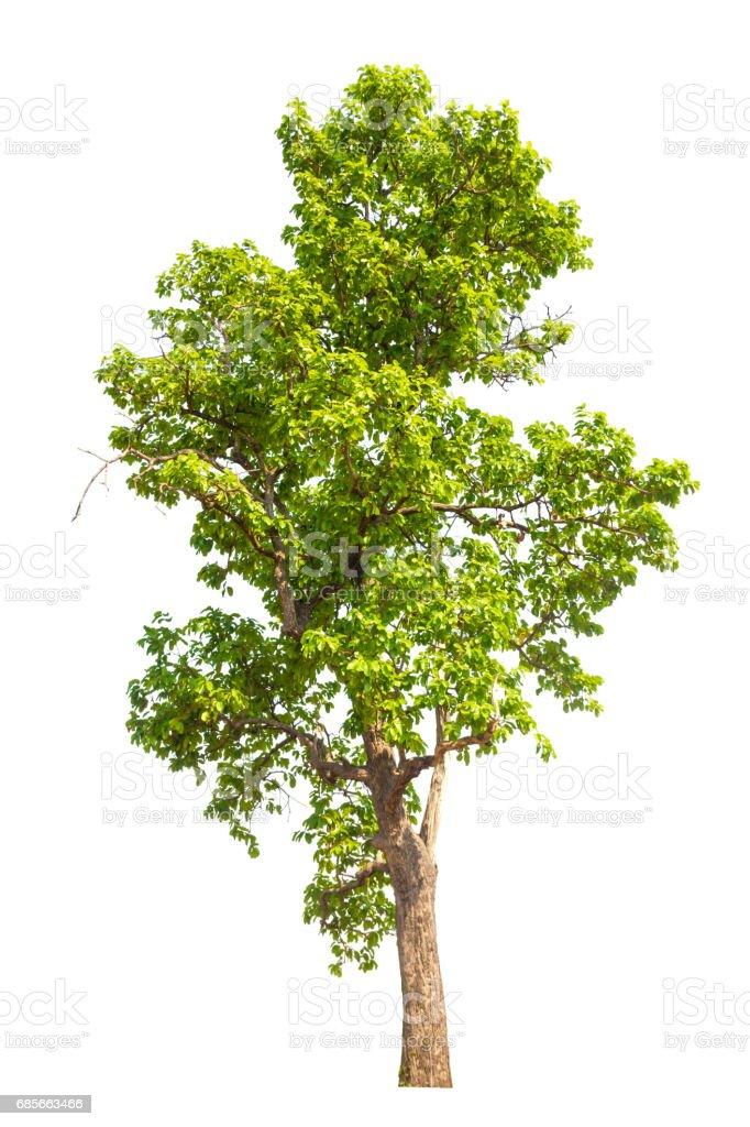 tree isolated, tree on white bacground, tree object. royalty-free 스톡 사진