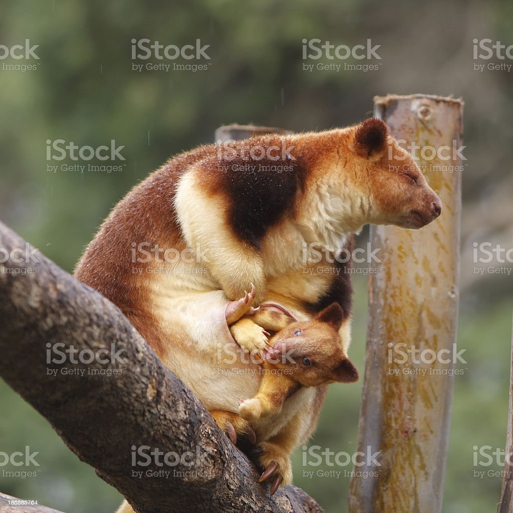 Tree Kangaroo and Joey royalty-free stock photo