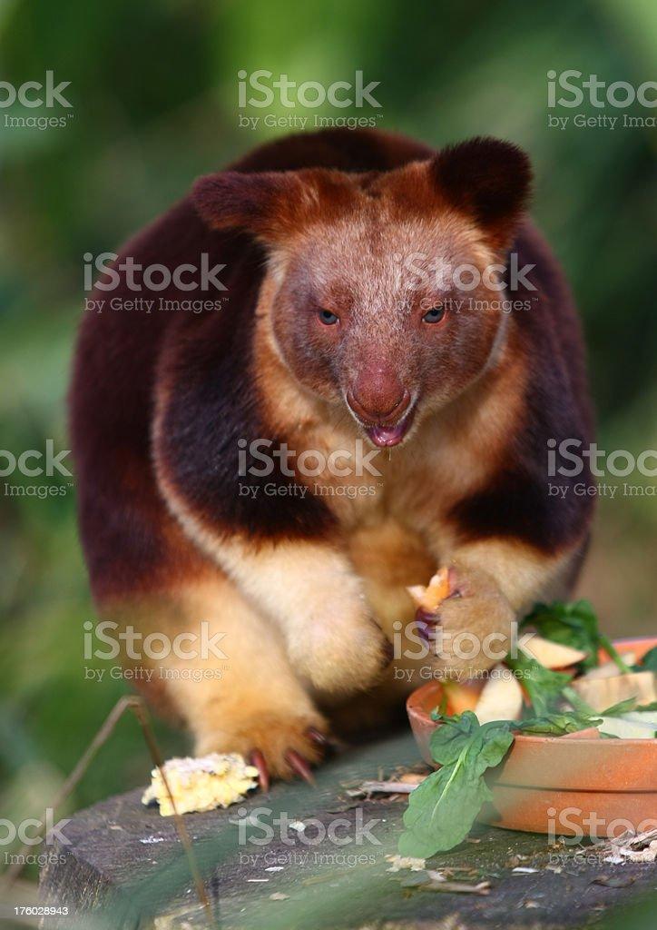 Tree Kangaroo royalty-free stock photo