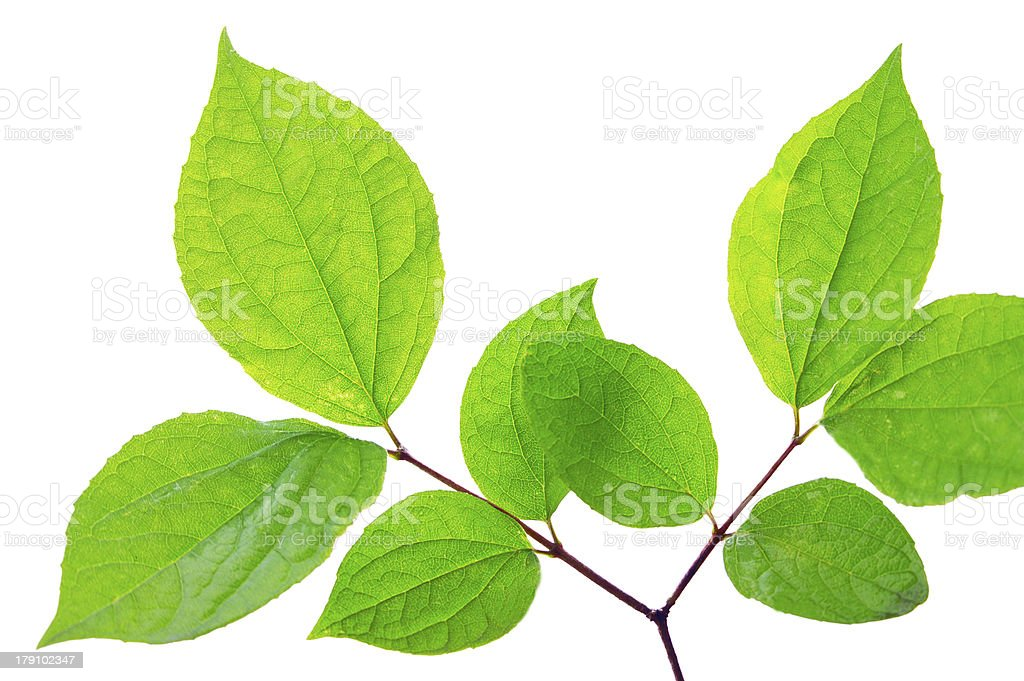 Tree leaf royalty-free stock photo