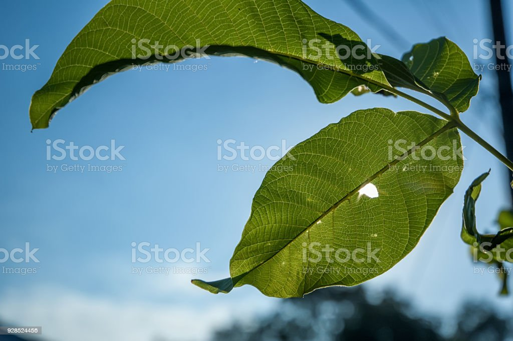 tree leaves backlit with a hole through which sunlight stock photo