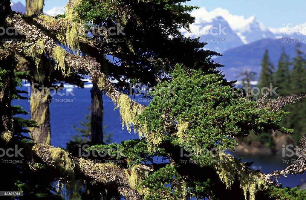 Tree lichens royalty-free stock photo