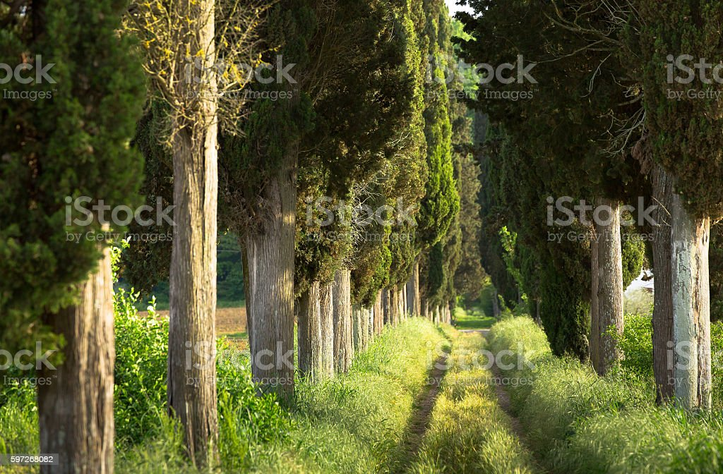Tree lined footpath royalty-free stock photo