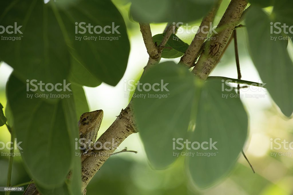 Tree lizard hide on the tree. royalty-free stock photo