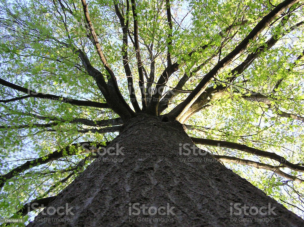 Tree looking up royalty-free stock photo
