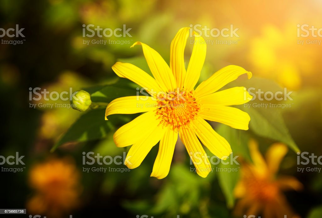 Tree marigold flower royalty-free stock photo