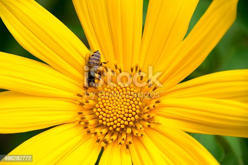 Tree marigold or Mexican tournesol or Mexican sunflower or Japanese sunflower or Nitobe chrysanthemum