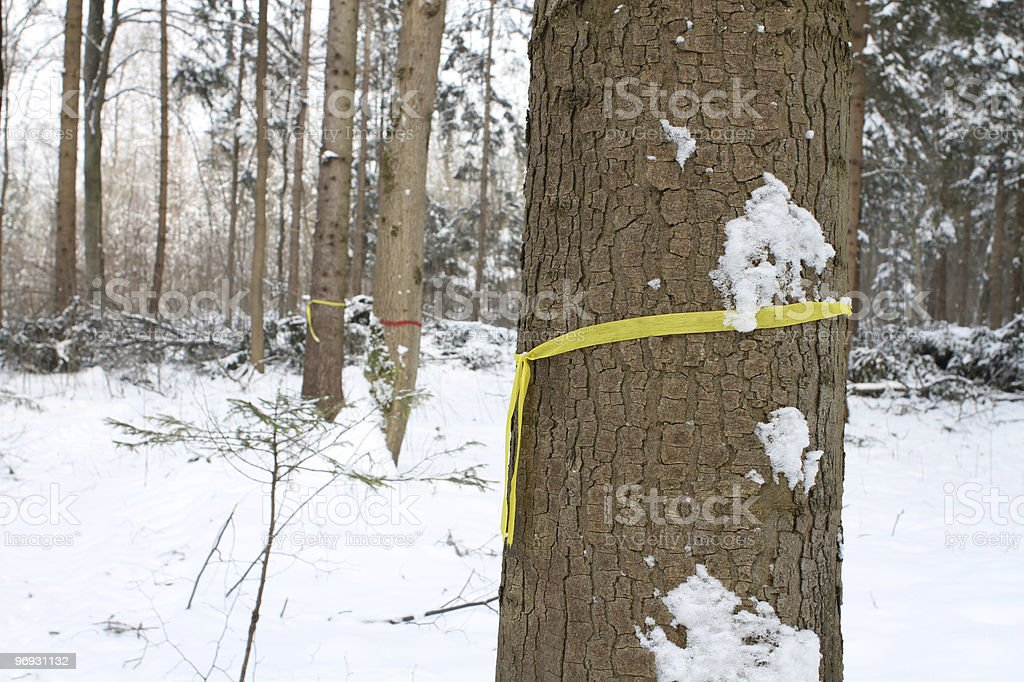 Tree marked for lumbering royalty-free stock photo
