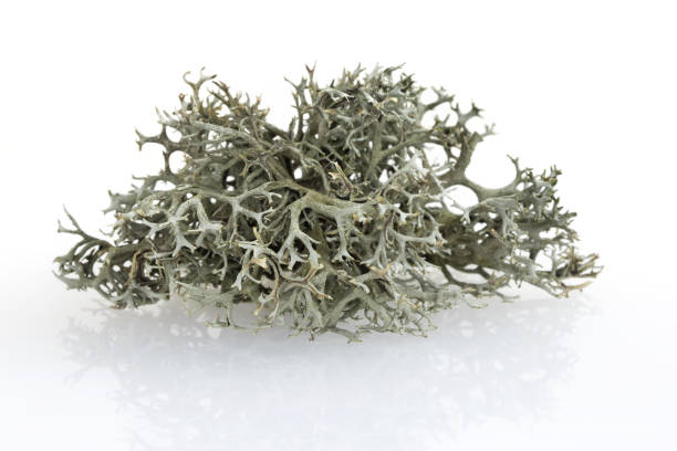 Tree moss from fir and pine trees - raw material for perfume industry stock photo