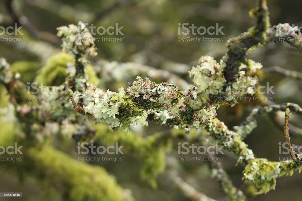 Tree Moss royalty-free stock photo