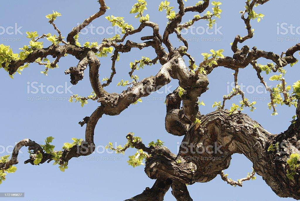 Árvore, mulberry - fotografia de stock