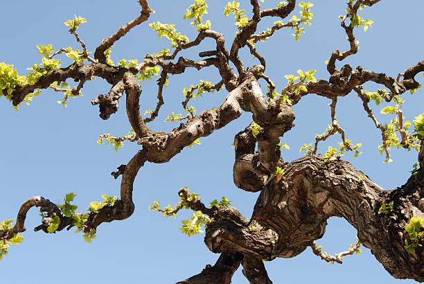 árvore, mulberry - amoreiras imagens e fotografias de stock