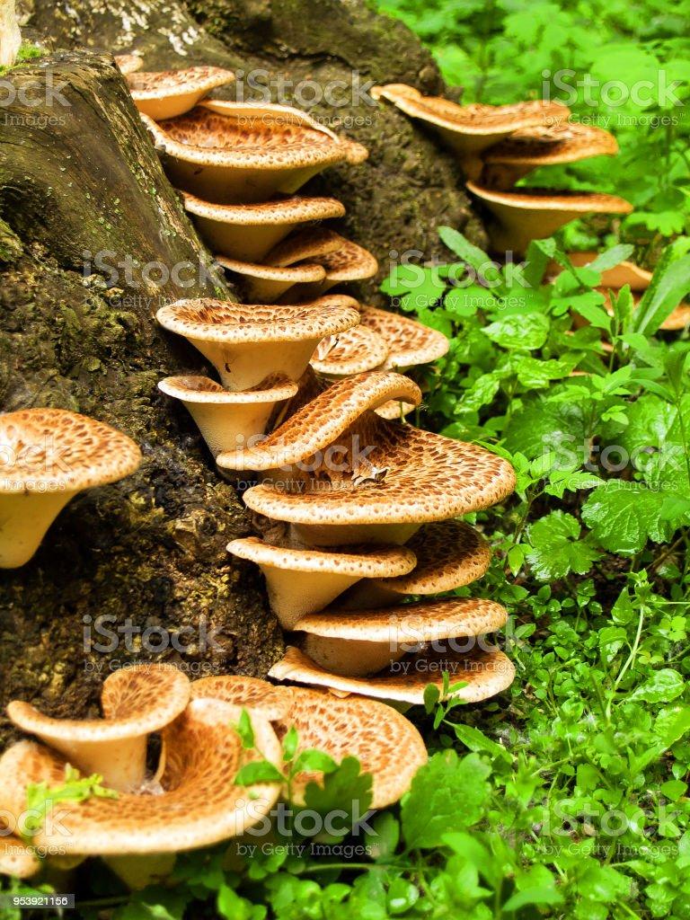 tree mushrooms grows on the trunk stock photo
