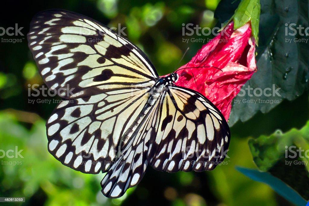 Tree Nymph (Idea Leuconoe)  at the Aruba Butterfly Farm stock photo