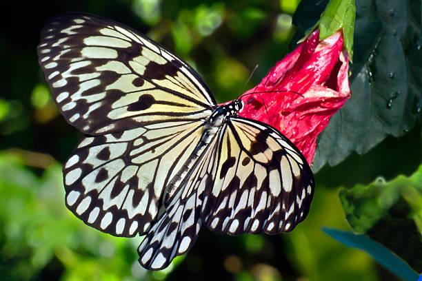 Baum Nymphe (Idee Leuconoe) an der Schmetterlingsfarm Aruba – Foto