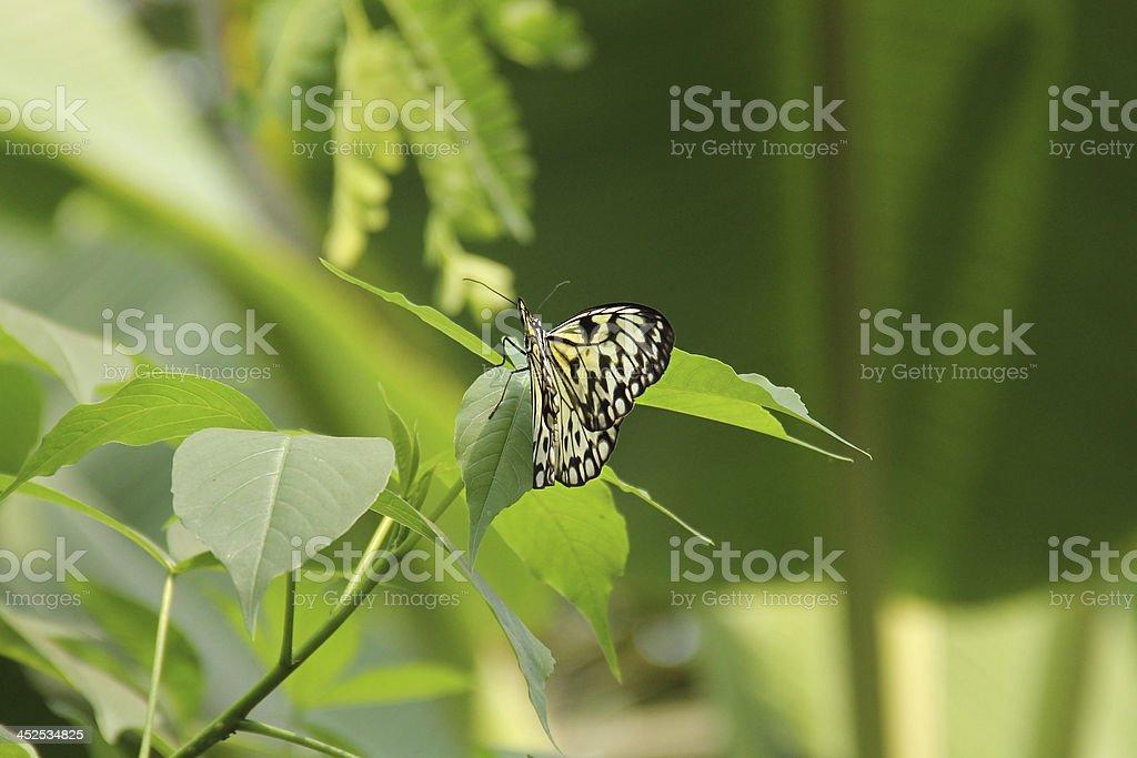 Tree Nymph, idea Leuconoe Butterfly on leaf stock photo