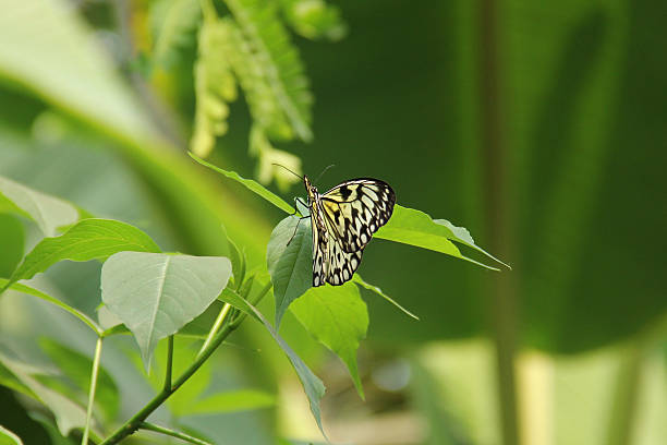 Tree Nymph, idea Leuconoe Butterfly on leaf stock photo