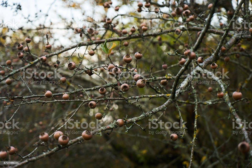 Tree of a ripe common medlar fruit stock photo