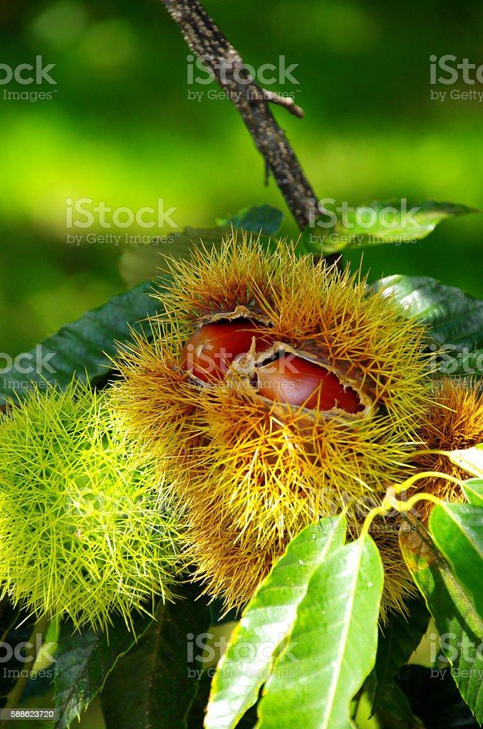 Tree of chestnut ストックフォト