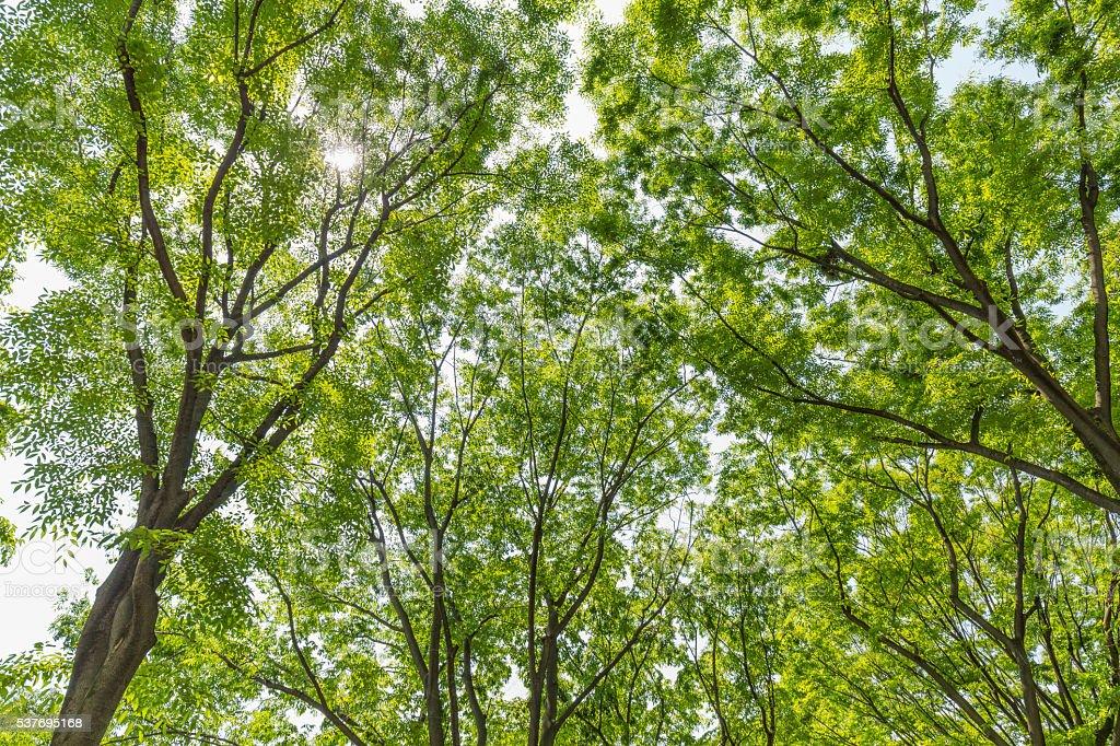 Tree of fresh green zelkova stock photo