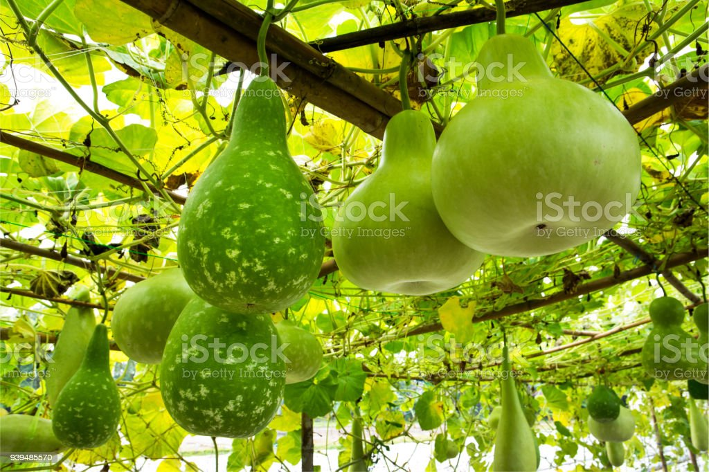 Tree of gourd and bottle gourd on the vine.(Lagenaria siceraia (Molina) Standley.) stock photo