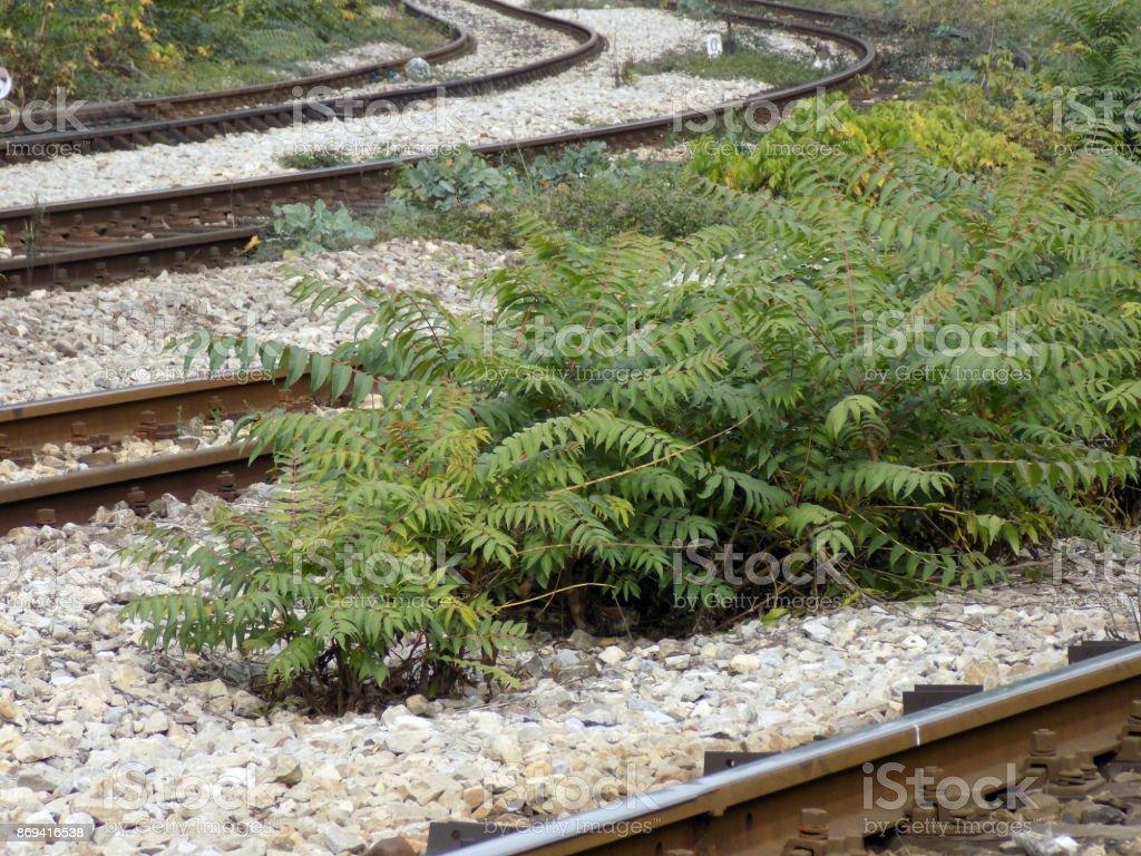Baum des Himmels (GГ¶tterbaum Altissima) zwischen den Tracks auf der Eisenbahn-Kreuzung – Foto