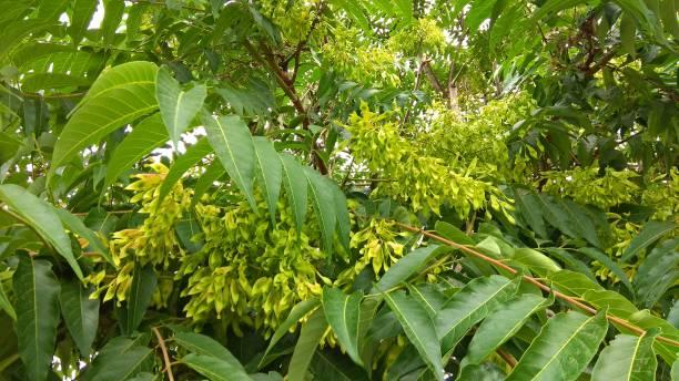 Baum des Himmels unreifen gedrehte geflügelte Samaras hängen an grünen Ästen. – Foto