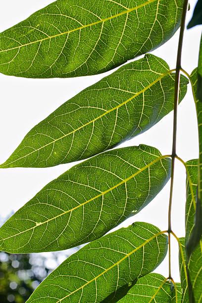 Compound Blatt-Baum of heaven Ailanthus altissima – Foto