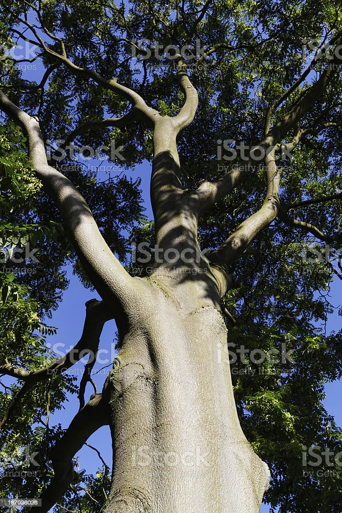 Sturdy trunk of Tree of Heaven in September royalty-free stock photo