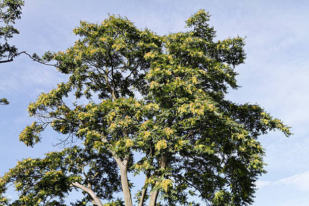 Fliegende Samen am Baum im September of Heaven – Foto