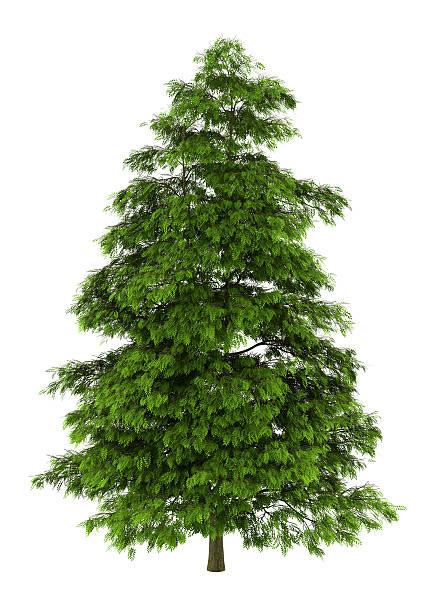 tree of heaven, isoliert auf weißem Hintergrund – Foto