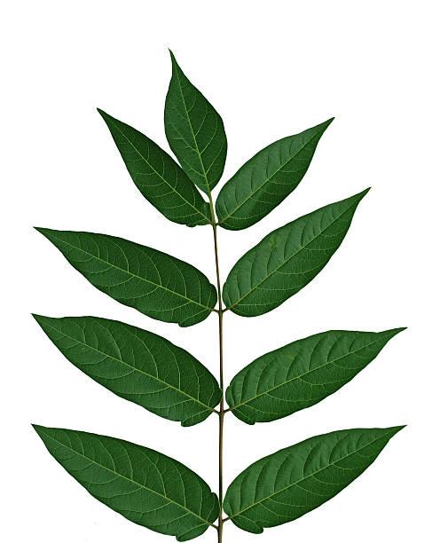 Baum des Himmels Leaf – Foto