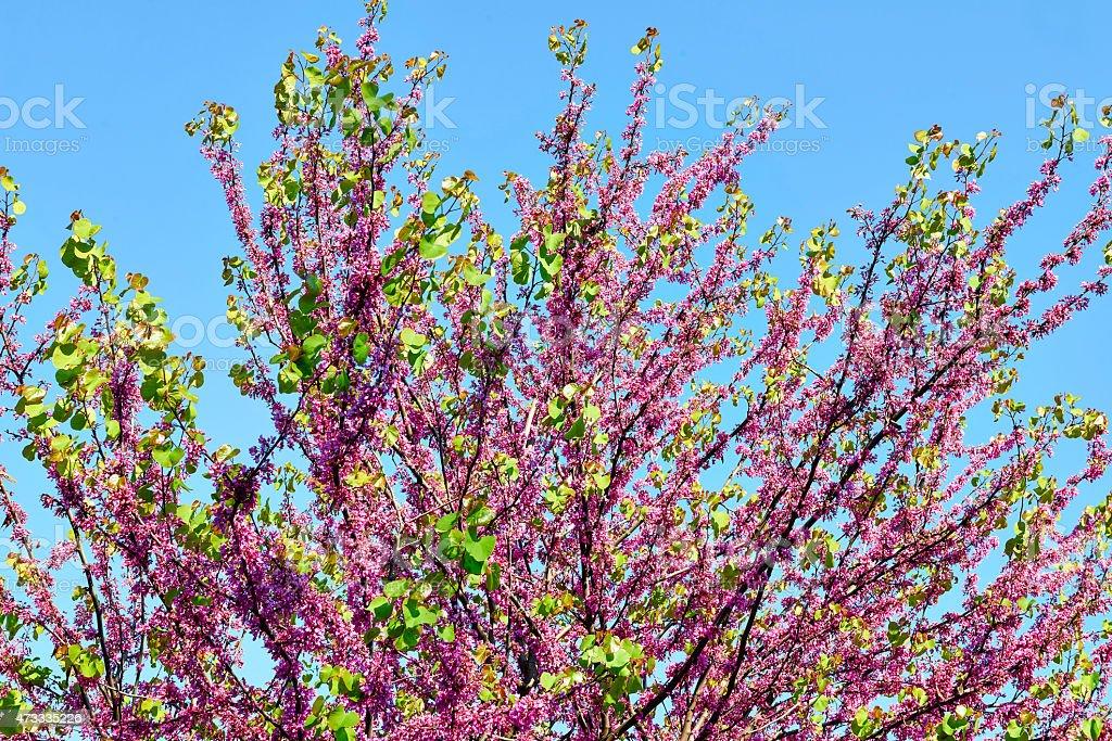 tree of judas stock photo