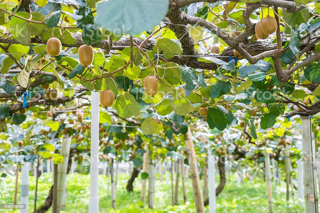 Tree of kiwi fruit stock photo