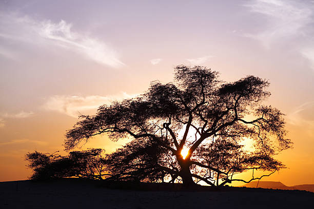 Tree of life, a 400 year-old mesquite tree stock photo