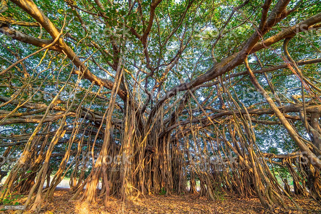 Tree of Life, Amazing Banyan Tree stock photo