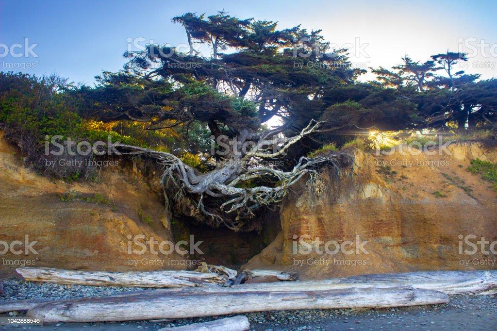 Árbol de la vida enorme árbol con raíces en un acantilado de la playa - foto de stock
