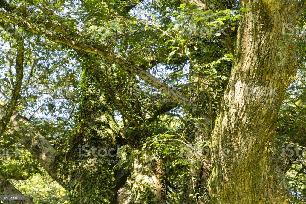 A tree of many years royalty-free stock photo